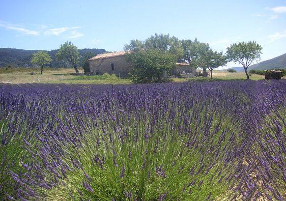 Lavender Field Provence France