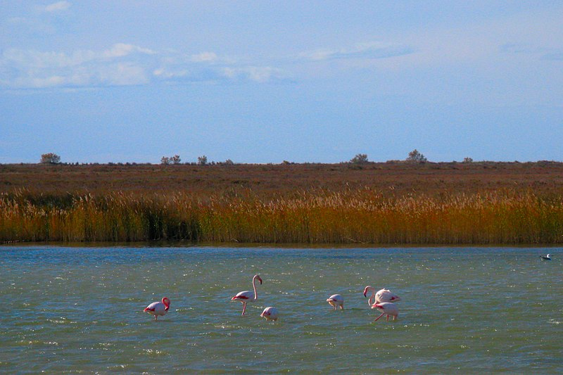pink flamingos in camargue