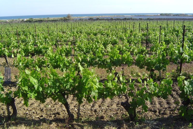 Languedoc-Roussillon vineyard
